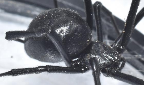 Black Widow with Babies - Latrodectus hesperus - female