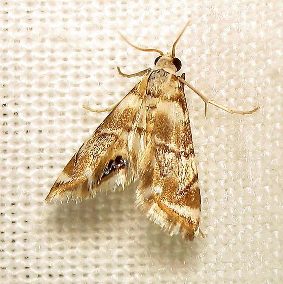Petrophila II - Petrophila