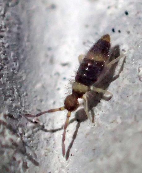 Entomobrya? - Entomobrya clitellaria