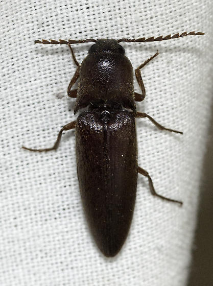 Click beetle at the lights - Diplostethus opacicollis