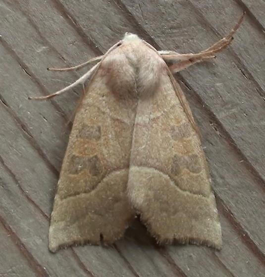 Noctuidae: Ipimorpha nanaimo? - Ipimorpha