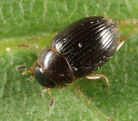 Water Scavenger Beetle - Cercyon laminatus
