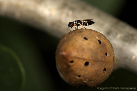 Parasitic Wasp on Gall - female