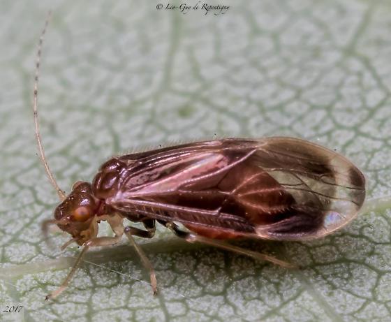 Psocoptera. Psocidae. - Polypsocus corruptus