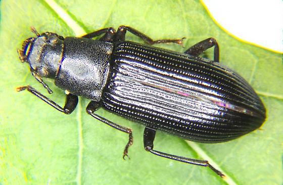 TENEBRIONOIDAENeatus tenebroides       Darkling Beetle - Xylopinus saperdoides