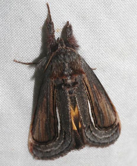 Gerrodes Moth - Gerrodes minatea