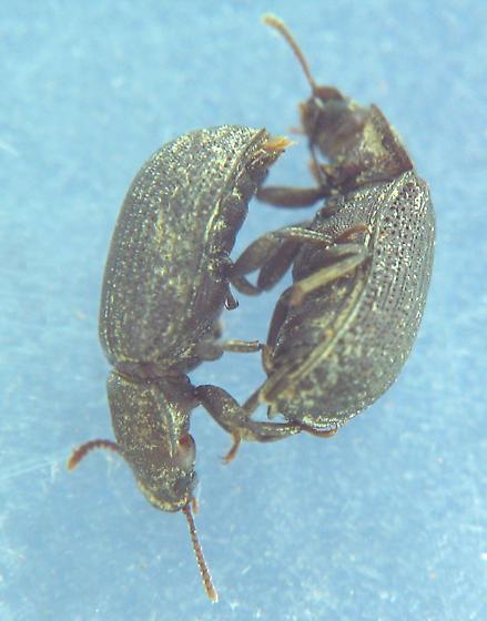 Conk beetles - Eleates depressus