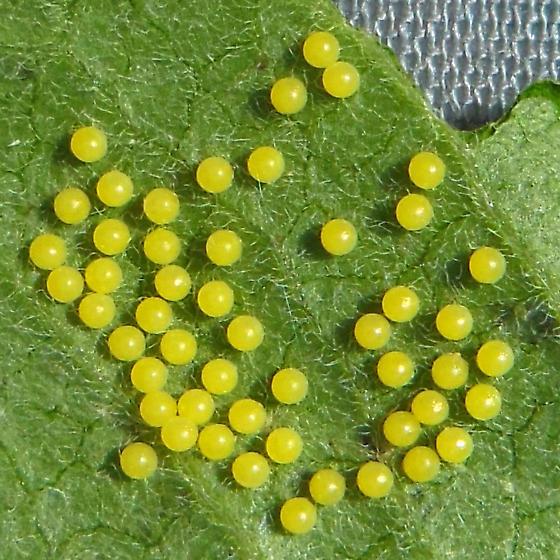 Moth caterpillar sp - Spilosoma virginica
