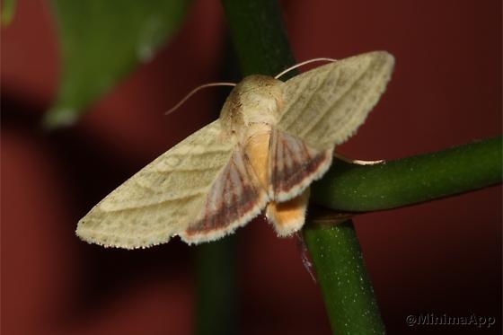 Tobacco Budworm - Chloridea virescens