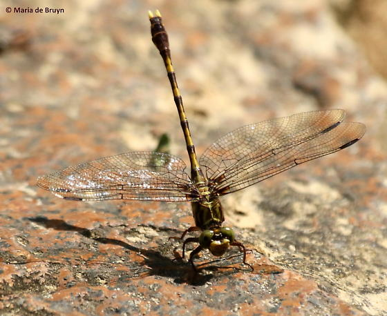 Common sanddragon dragonfly - Progomphus obscurus