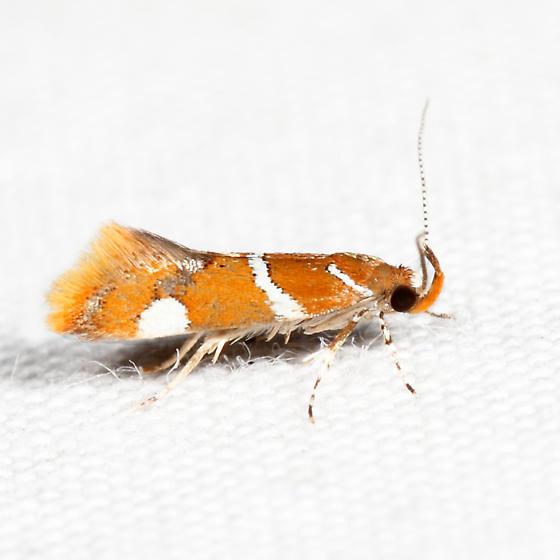 Suzuki's Promalactis Moth - Promalactis suzukiella