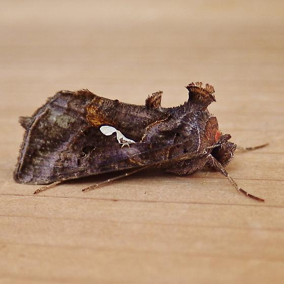 Noctuidae: Autographa precationis - Autographa precationis