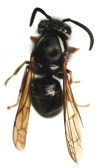 Which wasp? - Vespula consobrina - female