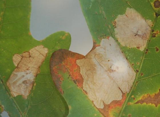 St. Andrews leaf miner on Quercus alba SA1210 2017 1 - Tischeria quercitella