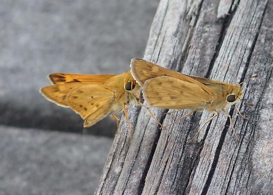 Hylephila phyleus ? - Hylephila phyleus - male - female