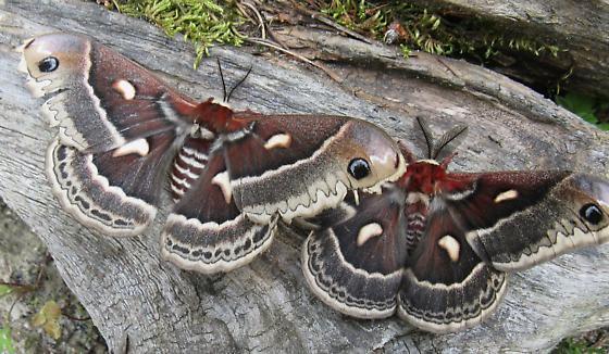 Hyalophora - Hyalophora columbia - male - female