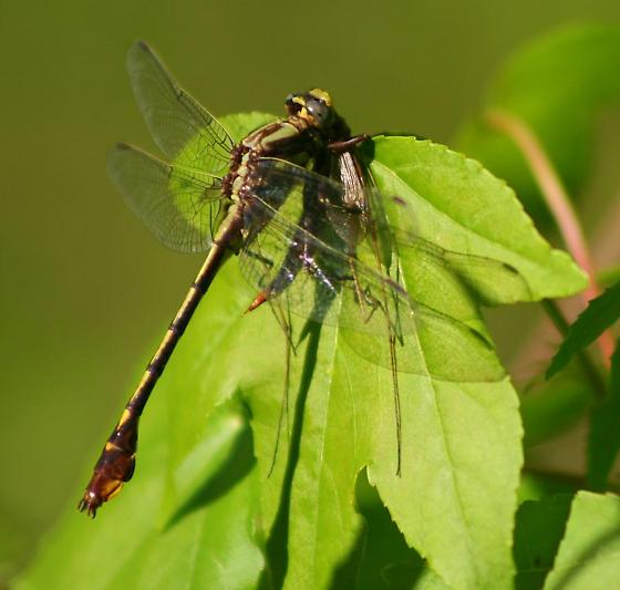 Dragonfly having lunch. - Gomphurus hybridus