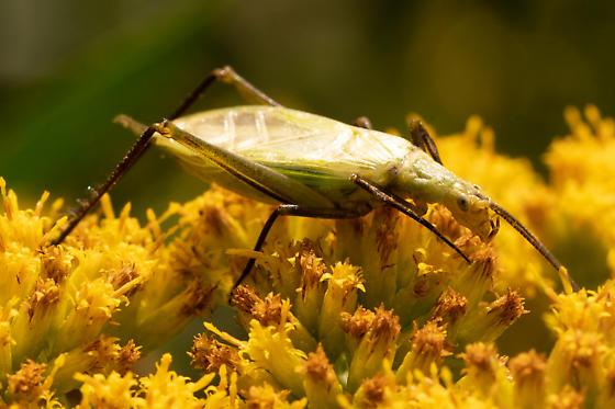 Katydid of some sort? - Oecanthus nigricornis - male