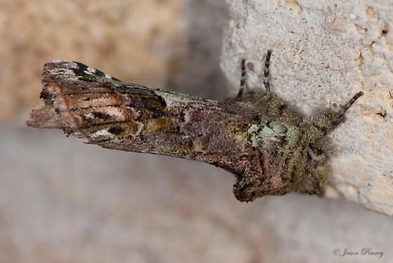 Hodges#8008 - Schizura errucata
