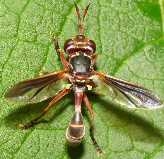 Thick-headed fly - Physoconops excisus