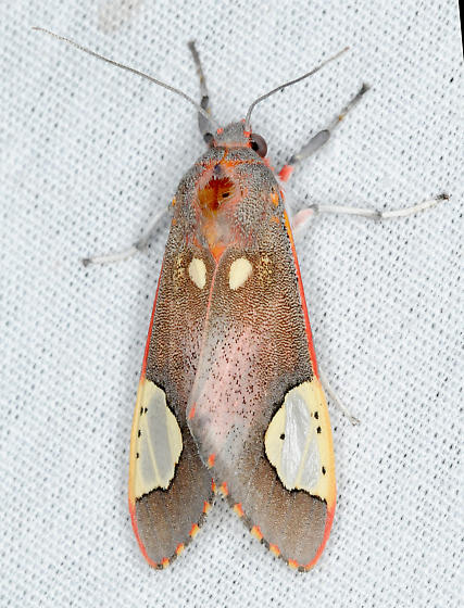 Moth - Bertholdia trigona