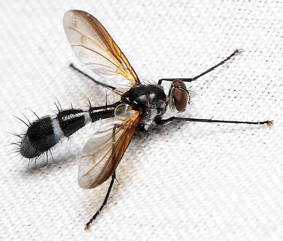 Fly - Cordyligaster septentrionalis - male