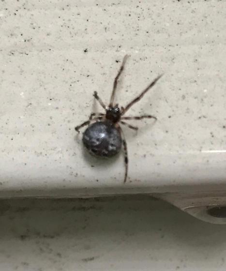 female orb weaver?