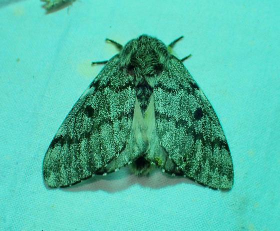 Moth - Coloradia doris