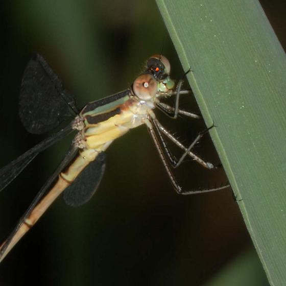 Spreadwing Damselfly - Lestes - female