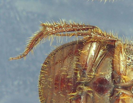 Sand-loving Scarab? - Parochodaeus pectoralis