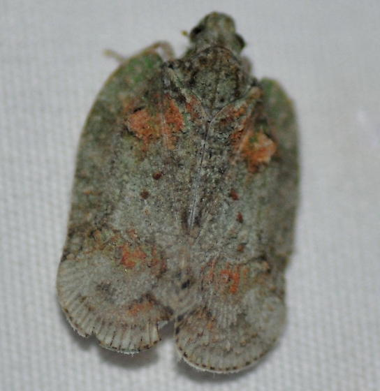 Hemipteran? - Flataloides scabrosus