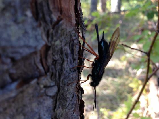 Horntail - Sirex - female
