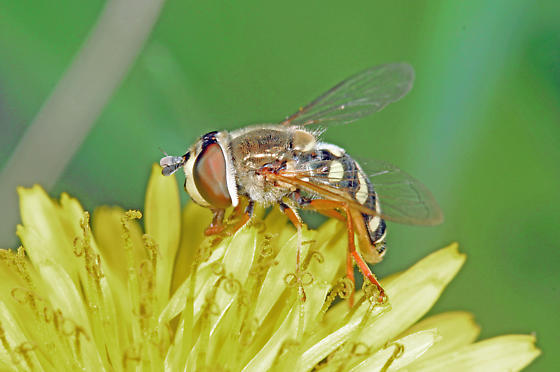 Syrphidae - Eupeodes volucris