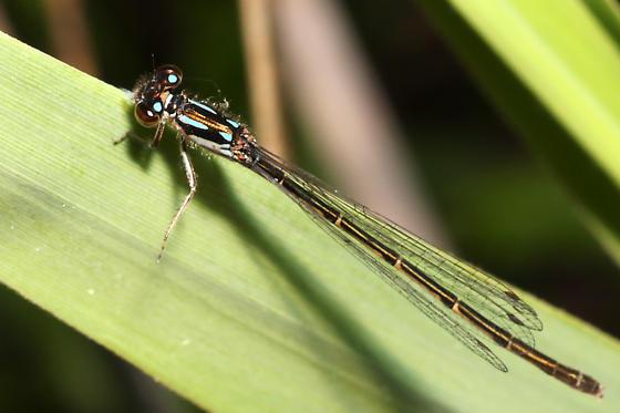 damselfly - Ischnura posita - female