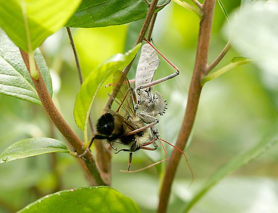 Assassin Bug - Arilus cristatus