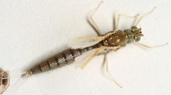 Callibaetis? Maybe C. californicus? - Callibaetis californicus