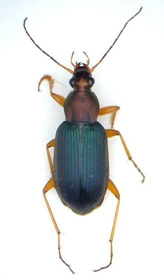 Chlaenius nemoralis - male