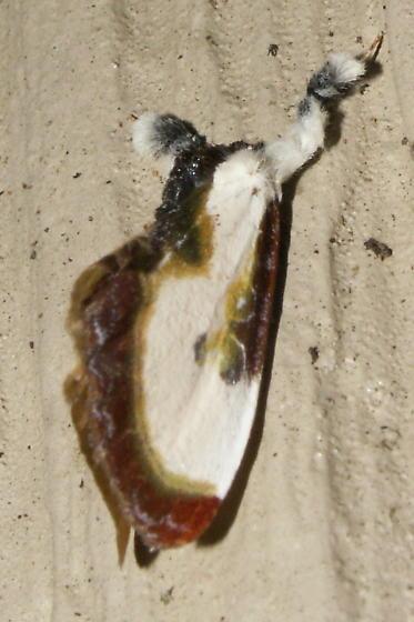 Beautiful Wood-Nymph - Hodges #9301 - Eudryas grata