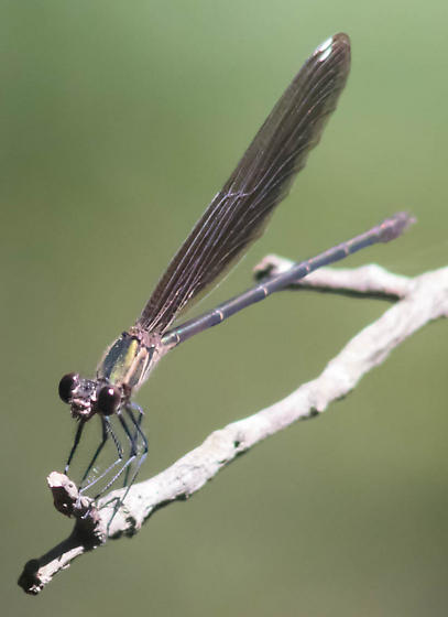 Brownish black damsel - Hetaerina titia