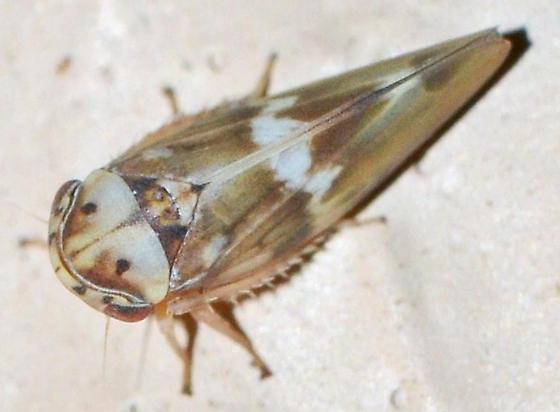 ? - Agalliopsis cervina