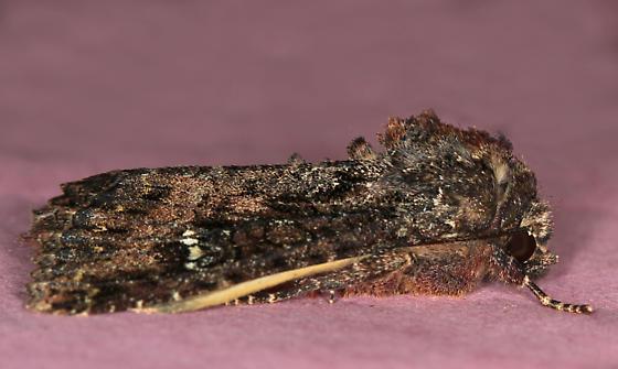 moth - Apamea amputatrix