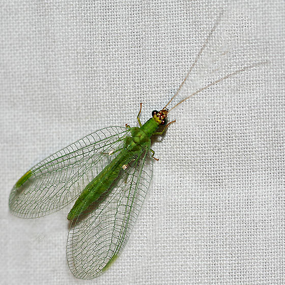 Lacewing at lights - Chrysopa