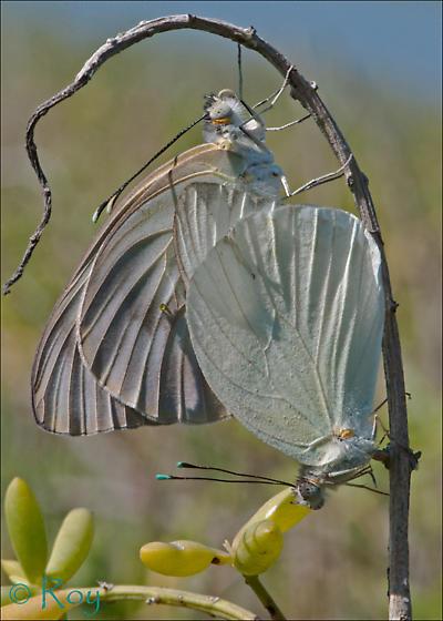 Great Southern White en cópula - Ascia monuste - male - female