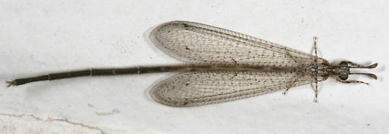 Peruveleon dorsalis - male