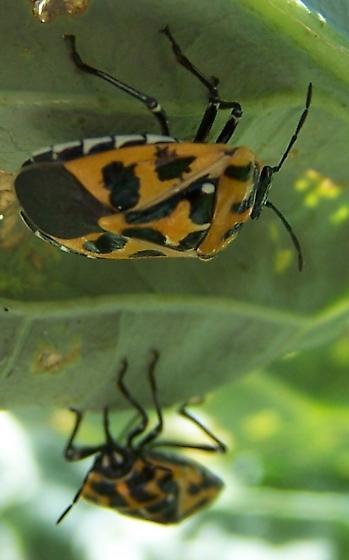 Murgantia histrionica - Harlequin Bug - Murgantia histrionica