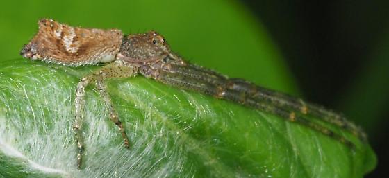 Unknown spider - Tmarus