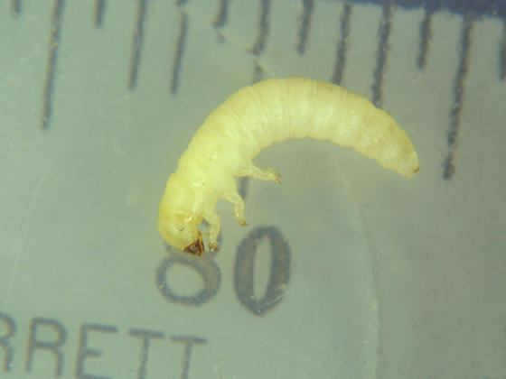 Found: undescribed larvae! - Eleates depressus