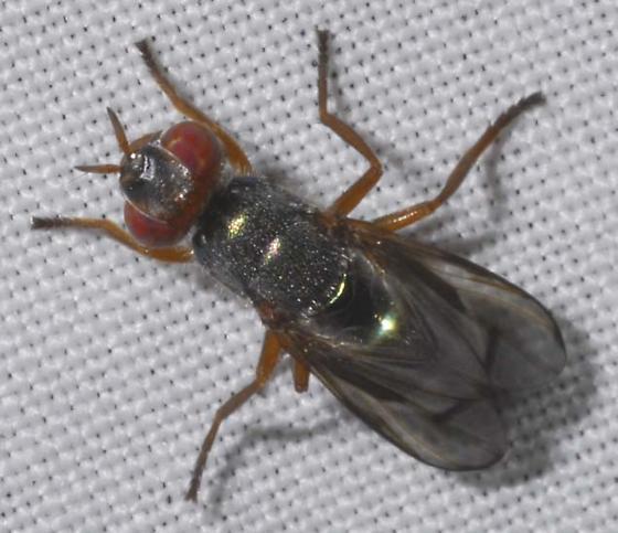 Diptera - Senopterina caerulescens