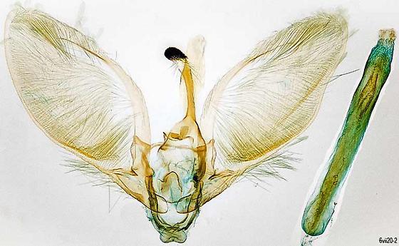genitalia - Anageshna primordialis - male