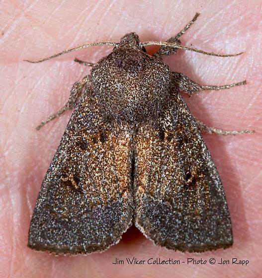 Blazing Star Borer Moth - Papaipema beeriana